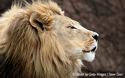 calm-lion-profile-blog-horizontal-400x250