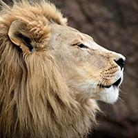calm-lion-profile-blog-square-200x200